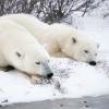 White Polar Bear Adventure