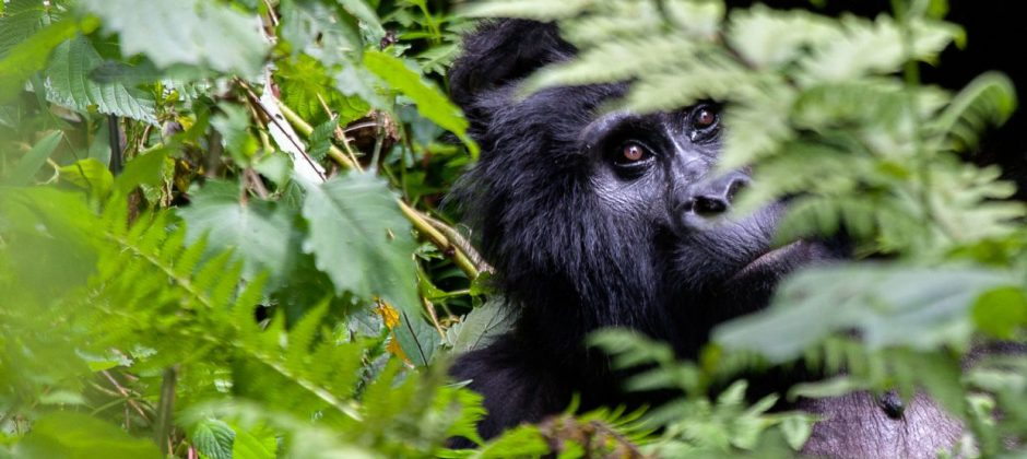 Uganda-Gorilla Tracking With Wildlife Safari